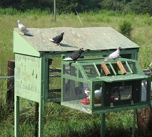 Pigeon Coop For Dog Training